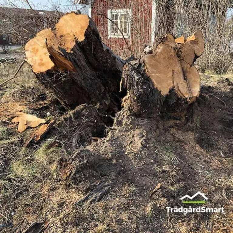 Before -Stump removal with stump grinding