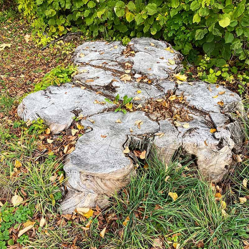 Stump removal with stump grinding service
